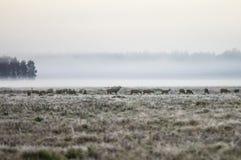 En flock av hjortar tidigt i den dimmiga morgonen går på fältduren Arkivfoto