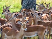 En flock av impalan kyler i skuggan under ett träd arkivbilder