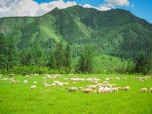 En flock av inhemska får betar den gröna ängen på foten av de höga bergen Begreppet av naturprodukter för ren luft fotografering för bildbyråer