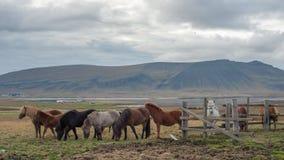 En flock av isländska hästar som äter gräs med det stora berget royaltyfri foto