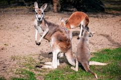 En flock av kängurur royaltyfri bild