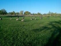 En flock av kanadensisk gäss på promenad Royaltyfria Foton