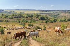 En flock av kor betar på Arkivfoton