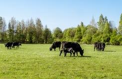 En flock av kor föder upp svarta Angus som betar i ett grönt fält Royaltyfri Bild
