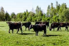 En flock av kor föder upp svarta Angus som betar i ett grönt fält Arkivfoton