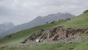 En flock av kor i de georgiska Kaukasus bergen arkivfilmer