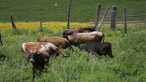 En flock av kor i de georgiska Kaukasus bergen stock video