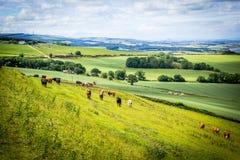 En flock av kor i fälten av Skottland, skotskt sommarlandskap, östliga Lothians, Skottland, UK Arkivfoto