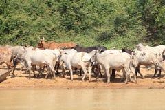 En flock av kor i Ghana Royaltyfri Bild