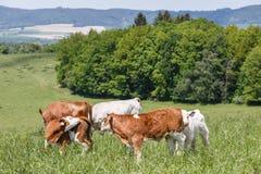 En flock av kor med kalvar och tjurar som betar på beta Naturfaunor och flora Fotografering för Bildbyråer