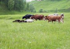 En flock av kor och får betar i ängen royaltyfria foton