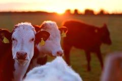 En flock av kor på änggränden i det västra av Irland royaltyfri fotografi