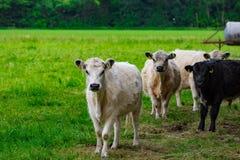 En flock av kor på ett grönt fält Fotografering för Bildbyråer