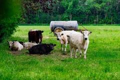En flock av kor på ett grönt fält Royaltyfria Bilder