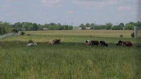 En flock av kor som betar i ett Amish lantgårdfält lager videofilmer