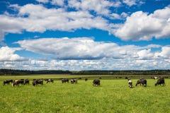 En flock av kor som betar på ett ljust - grönt vårgräs mot bakgrunden av en skog under en blå himmel med stackmolnmoln Royaltyfria Foton