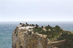En flock av kormoran på vaggar royaltyfri bild