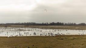 En flock av kranar Arkivfoton