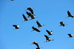 En flock av kranar flög till och med himlen royaltyfria foton