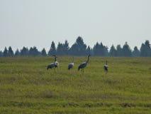 En flock av kranar i fältet Arkivfoto