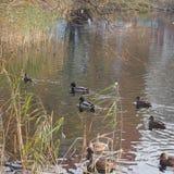 En flock av lösa änder som simmar i dammet Änder och ankor Royaltyfri Bild