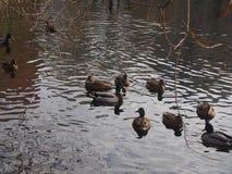 En flock av lösa änder som simmar i dammet Änder och ankor Royaltyfria Foton