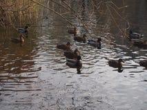 En flock av lösa änder som simmar i dammet Änder och ankor Royaltyfri Fotografi