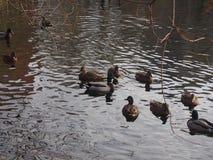 En flock av lösa änder som simmar i dammet Änder och ankor Arkivfoton