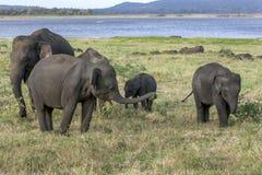 En flock av lösa elefanter på den Minneriya nationalparken arkivfoton