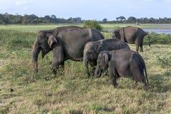 En flock av lösa elefanter på den Minneriya nationalparken royaltyfria foton
