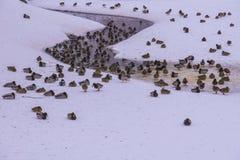 En flock av lösa fåglar på snöig liten vik Arkivfoto