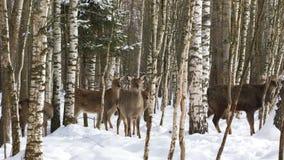 En flock av lösa Sika hjortar i skogen stock video