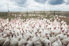 En flock av lantgårdkalkon med en som verkar att sparka bakut folkmassariktningen Royaltyfri Bild