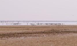 En flock av Lesser Flamingos i Nata Bird Santuary Royaltyfria Foton