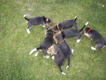 En flock av liten hundkapplöpning var bra på att äta royaltyfria foton