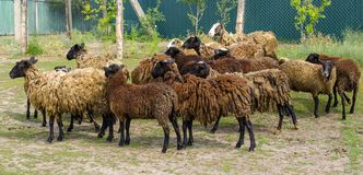 En flock av mörka bruna får royaltyfria bilder