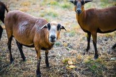 En flock av nyfikna Barbado Blackbelly får Arkivfoton