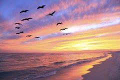 En flock av pelikan flyger över stranden som soluppsättningarna Arkivbild