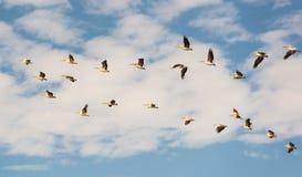 En flock av pelikan - flyttning till vinterfjärdedelarna Royaltyfri Bild