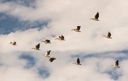En flock av pelikan - flyttning till vinterfjärdedelarna Arkivbild