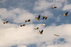 En flock av pelikan - flyttning till vinterfjärdedelarna Arkivfoto