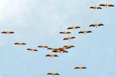 En flock av pelikan migrate från Europa till Afrika royaltyfri bild