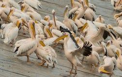 En flock av pelikan som förnyar sig efter en natt, vilar Royaltyfri Foto