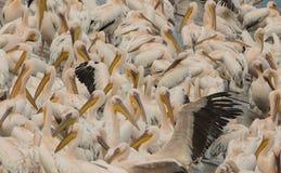 En flock av pelikan vilar på kusten av dammet Arkivbild