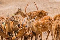 En flock av prickiga Deers i lantgård Arkivbilder