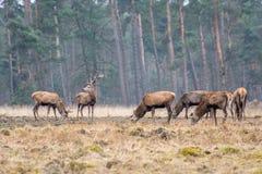 En flock av röda hjortar royaltyfria bilder