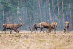 En flock av röda hjortar royaltyfria foton