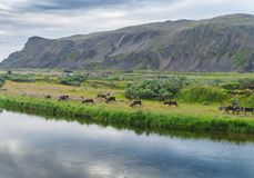 En flock av renar på kusten av Sandfjord, Varanger halvö, Finnmark, Norge Arkivfoton