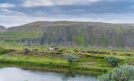 En flock av renar på kusten av Sandfjord, Varanger halvö, Finnmark, Norge Royaltyfria Bilder