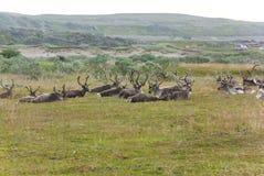 En flock av renen i den Varangerhalvoya nationalparken, Finnmark, Norge Arkivbild